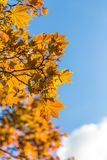 Autumn Leaves and a Blue Sky. Autumn Leaves Reaching for the Blue Cloudy Sky Stock Image