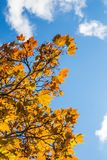 Autumn Leaves and a Blue Sky. Autumn Leaves Reaching for a Blue Cloudy Sky Stock Image