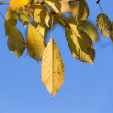 Autumn leaves with blue sky Royalty Free Stock Image