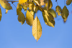Autumn leaves with blue sky Royalty Free Stock Photography