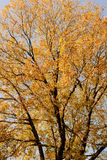 Autumn leaves blue sky Royalty Free Stock Image