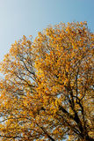 Autumn leaves blue sky Stock Photography