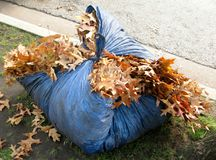 Autumn leaves in blue tarp. Stock Photo