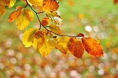 Autumn leaves with blurry background. In New Zealand, backlit Stock Photos