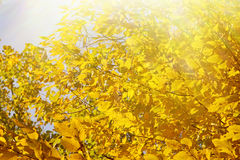 Autumn leaves. Royalty Free Stock Image