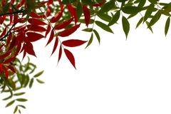 Red and green autumn  fall  leaves border Royalty Free Stock Photo