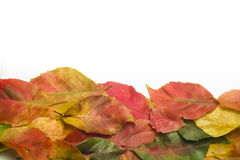 Autumn leaves border on white. Autumn colorful leaves border on white Stock Photos