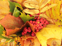 Autumn leaves bouquet. With red berries Royalty Free Stock Image