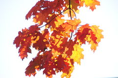 Autumn Leaves. Autumn leaves on a branch against a white background Royalty Free Stock Photo