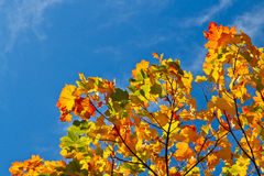 Autumn leaves on branch and blue sky in the background. Autumn leaves in sunny day with clear sky Stock Photos