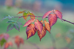 Autumn leaves on branch Royalty Free Stock Photography