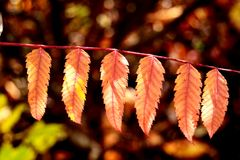 Autumn leaves on a branch stock image