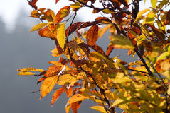 Autumn leaves on branches. Colorful autumn leaves on branches Royalty Free Stock Photography