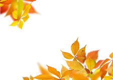 Autumn leaves branches Royalty Free Stock Photography