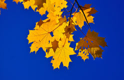 Autumn leaves on the branches. Stock Image