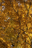 Autumn leaves on branches Stock Photo