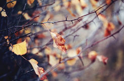 Autumn leaves on the branches of hawthorn. Stock Image