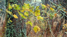 Autumn leaves and branches maple. Closeup stock video