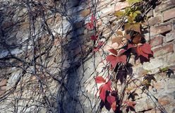 Autumn leaves and branches on urban wall Royalty Free Stock Image