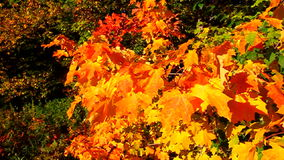 Autumn Leaves in Breeze Royalty Free Stock Images