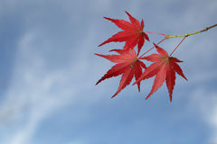 Autumn leaves. Bright red Autumn leaves against a clear blue sky in November Stock Photo