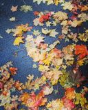 Autumn leaves. Bright leaves after september rain Royalty Free Stock Photos