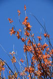 Autumn Leaves Brilliant Sky Lizenzfreies Stockfoto