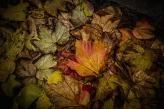 Autumn Leaves. A bunch of fallen leaves in autumn Stock Photo