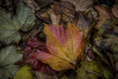 Autumn Leaves. A bunch of fallen leaves in autumn Royalty Free Stock Photo