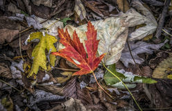 Autumn Leaves. A bunch of fallen leaves in the autumn Stock Image