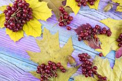 Viburnum berries and autumn yellow leaves lie on a wooden background. Stock Images