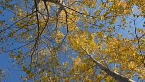 Autumn leaves can be heard in the wind. Aspen leaves crouch in the wind in the fall against the blue sky stock video footage