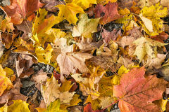 Autumn leaves. Canada, maple leaf royalty free stock image