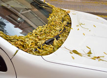 Autumn leaves on car Royalty Free Stock Images