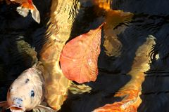 Autumn leaves and carp in the pond Royalty Free Stock Photography