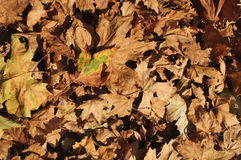 Autumn leaves carpet Royalty Free Stock Image