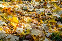 Autumn leaves on grass. Autumn leaves carpet the ground. Autumn leaves on grass Stock Photography