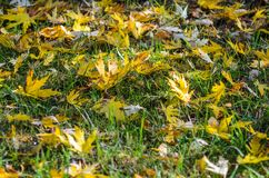 Autumn leaves on grass. Autumn leaves carpet the ground. Autumn leaves on grass Royalty Free Stock Photo