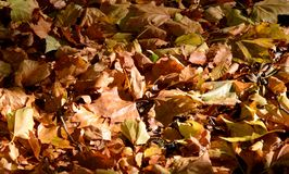 Autumn leaves carpeting the ground. A carpeting of autumn leaves on the ground royalty free stock photography