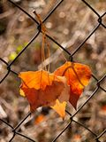 Autumn leaves caught up. With the arrival of autumn, we can find these striking leaves many curious places Stock Photography