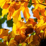 Golden autumn leaves cavalcade still on tree royalty free stock photo