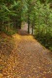 Autumn Leaves on Cedar Path in Glacier Stock Photos
