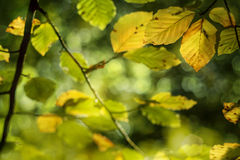 Autumn leaves changing color Royalty Free Stock Images