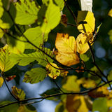 Autumn leaves changing colors Stock Photos