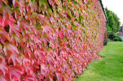 Autumn Leaves changing colour Royalty Free Stock Images