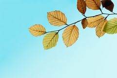 Autumn Leaves Changing Colours on Branch against Blue Sky Royalty Free Stock Photography