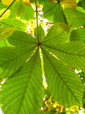 Autumn leaves of a chestnut Stock Photography