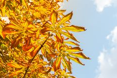 Autumn leaves of chestnut against the blue sky. Selective focus Stock Photography