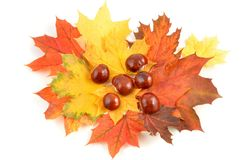 Autumn leaves and chestnut. Stock Images