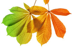 Autumn leaves of chestnut tree Royalty Free Stock Photography